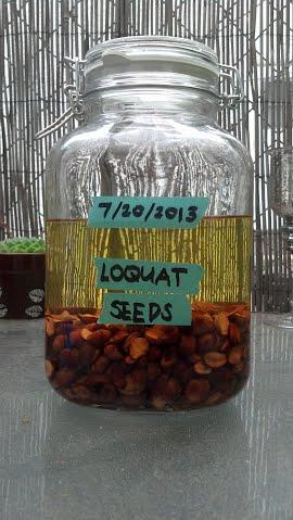 steeping loquat seeds